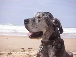 A panting gray and black merle Great Dane is laying on a beach.