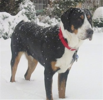 A tricolor black, tan and white Greater Swiss Mountain Dog is wearing a red collar standing outside in front of a house in snow. There is snow all over the dog