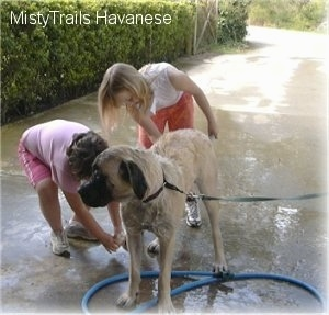 A huge tan with black mastiff dog is standing outside on a sidewalk and two children are washing its side with a garden hose.
