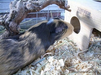 A black, tan and white Guinea Pig is inspecting a wooden hide-a-way in front of it in an outside cage.