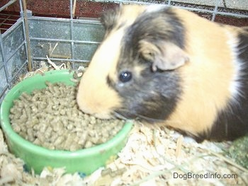 Close up - A black, tan and white Guinea Pig is eating food pellets out of a green bowl.