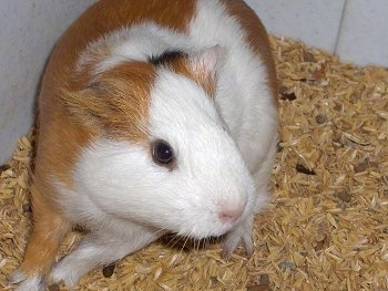 Close up - A brown and white with black Guinea Pig is standing towards the left wall of a cage looking to the right.