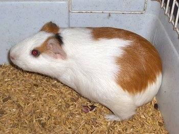 Close up Left Profile - A brown and white with black Guinea Pig is standing in the back corner of a cage looking to the left.