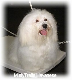 Close up - A soft looking, long haired white Havanese is standing on a show dog grooming table, it is looking up and to the right. Its mouth is open and its tongue is out.