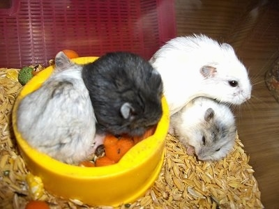 White Dwarf Campbell Russian Hamster