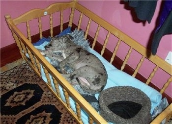 A harlequin/blue merle Great Dane puppy is laying on its side in a baby doll crib. The walls in the room are pink and there is an oriental rug on the floor.