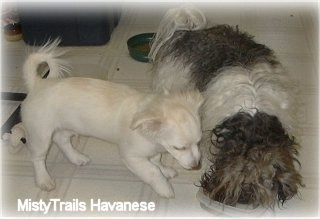 A white Short coat Havanese is trying to eat food out of a bowl that a long-coated brown with white Havanese is eating out of.