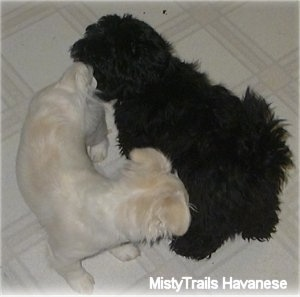 A black long-coated Havanese and the white short coat Havanese are sniffing each other on a white tiled floor.