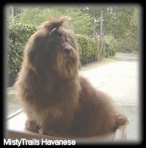 A small breed, brown Havanese dog is sitting on a patio and it is looking to the right. It has a band in the hair of its top knot.