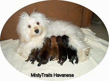 Five Havanese puppies are drinking the milk of a white Havanese who is laying on a blanket