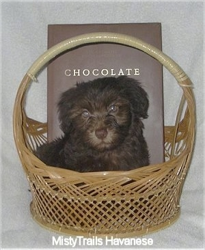 A Chocolate Havanese puppy is laying in a wicker basket. There is a book that has the word - CHOCOLATE - on it behind the puppy's back.
