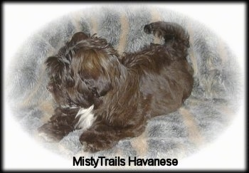 A chocolate with white Havanese puppy is laying on a couch. Its head is turned to the left. There is a white vignette around the image. The words - MistyTrails Havanese - are overlayed
