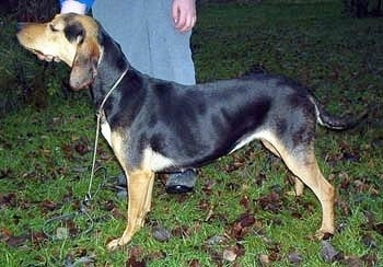 Left Profile - A black and tan Greek Hound is standing in grass with a person standing behind it holding its chin.