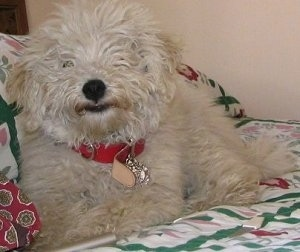 Close up front view - A furry white Puli is wearing a red collar laying on a bed and it is looking forward.