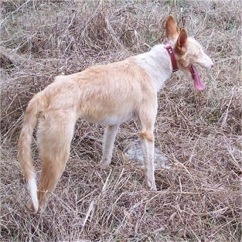 A tan with white Ibizan Hound is standing in brown grass. Its mouth is open and its tongue is out