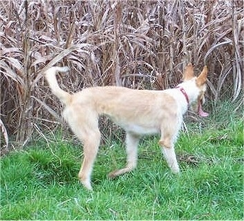 A tan with white Ibizan Hound is walking in front of a line of brown corn stalks. Its mouth is open and its tongue is out