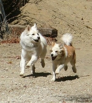 Two Icelandic Sheepdogs are running across dirt