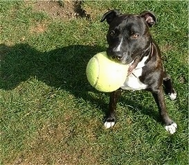A black with white Irish Staffordshire Bull Terrier is sitting in grass with a big tennis ball in its mouth