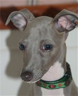 Close Up head shot - A grey with white Italian Greyhound puppy is wearing a green collar sitting in front of a wall looking down and to the left.