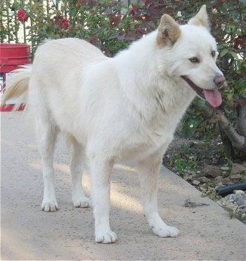 A panting, white Jindo is standing on a sidewalk next to a tree. There are red rose bushes behind it.