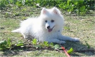 A white Japanese Spitz puppy is laying in grass with weeds in front of and behind it. It is panting outside and looking down at the leaves on the ground next to it
