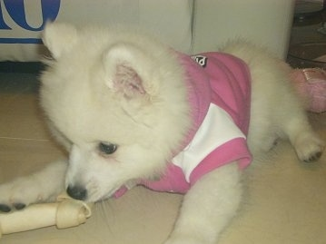 Alaskan Spitz | Dog Breeds Picture