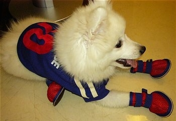 Japanese Spitz (4 months old) Dressed Up