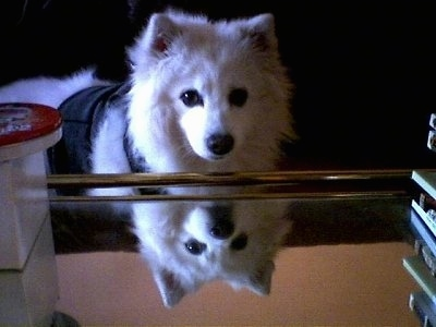 A Japanese Spitz is wearing a vest and looking over a glass table with its own reflection peering below like a mirror