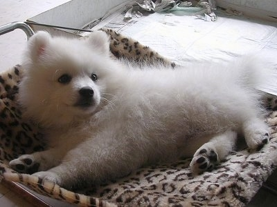 A small Japanese Spitz Puppy is laying on its side in a leopard print dog bed