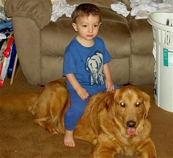 A boy in a blue shirt and pants is sitting on the back of a Golden Retriever dog that is laying down on a brown carpet in a living room next to a laundry basket and in front of a tan couch. The Golden Retrievers mouth is open and tongue is out. The little boy has a gray elephant on his shirt.
