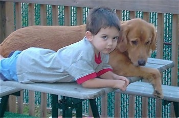 A Golden Retriever is laying next to a boy on a wooden picnic table. The dog is looking over the edge and the boy is looking forward.