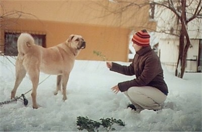 A tan Kangal Dog is standing in snow and there is a lady in front of it holding up a branch with dried leaves on it.