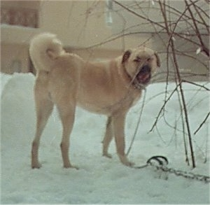 A tan Kangal Dog is standing in snow and it is licking its nose