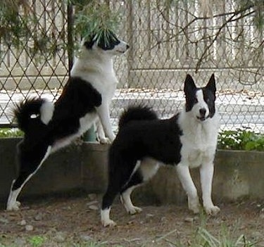 Two white and black Karelian Bear Dogs are standing inside of a chain link fence. One is jumped up at a concrete wall looking out and the other is facing the camera.