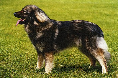 Left Profile - A panting black with tan and white Karst Shepherd is standing in a grass