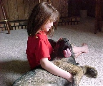 A German Shepherd puppy is laying in the lap of a girl. Its mouth is open and tongue is out. Ther girl is looking down at the dog. They are on a tan carpet.