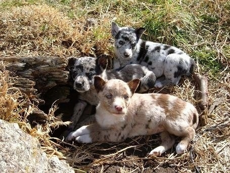 Three small merle Australian Koolie Puppies are laying in grass next to a log and a big rock.