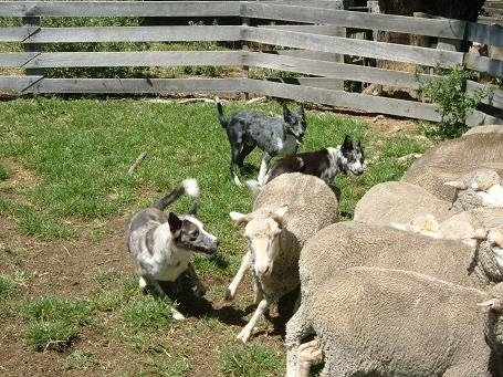 Three Australian Koolie are herding sheep inside of a pen with a wooden fence behind them.