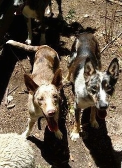 Three Australian Koolie are standing in dirt looking at the camera holder. There mouths are open and tongues are out.