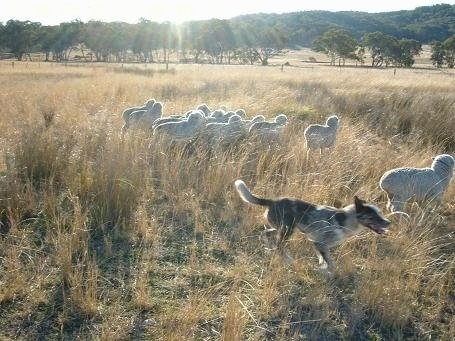An Australian Koolie is running around a herd of sheep in a field with tall brown grass with shade trees in the distance.