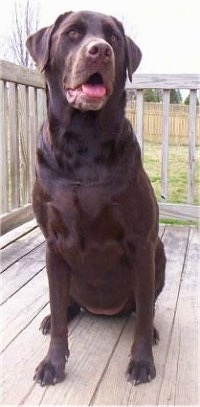 A chocolate Labrador Retriever is sitting on a wooden deck and looking forward. Its mouth is open and tongue is out