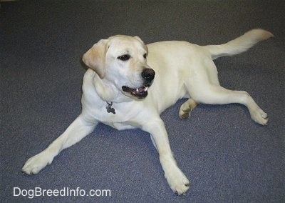 A yellow Labrador Retriever is spread out laying on a gray carpet and looking to the right. Its mouth is slightly open.