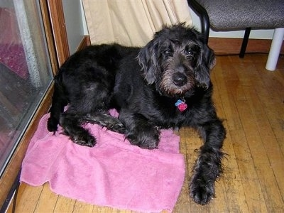 A wavy, black Labradoodle is laying on a pink towel on top of a hardwood floor and there is a sliding door next it and a chair on the other side of it.