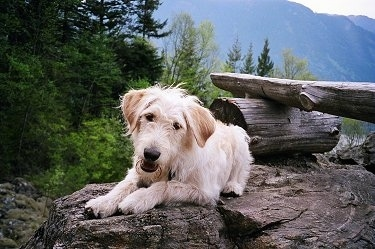 A tan wavy-coated Labradoodle is laying in top of a large bolder rock. There is a stump and a log behind it with a nice view of the mountains. The dog's head is tilted to the right and its mouth is a little bit open