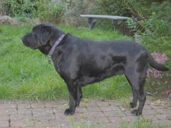 Left profile - a black Labrador Retriever is standing on a brick pathway next to thick grass. There is a bench in the distance.