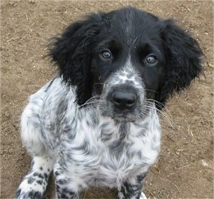 A black and white Large Munsterlander puppy is sitting in dirt looking up.