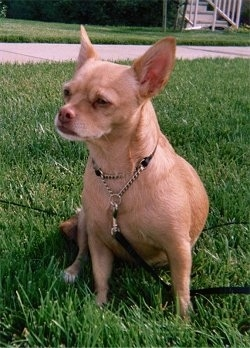 Front view - A tan shorthaired Small Portuguese Hound is sitting in grass and it is looking to the left.