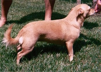 The right side of a shorthaired Small Portuguese Hound that is standing in grass. There is a person touching its nose. The dog's ears are pinned back and it has fringe on its tail.