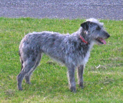 Right Profile - A wiry-looking, grey with white Lurcher is wearing a red collar standing in grass. Its mouth is open and tongue is out.
