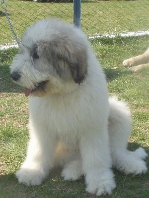 View from the front - A fluffy white with black Romanian Mioritic Shepherd Dog Puppy is sitting in grass and looking to the left. There is a chainlink fence behind it.